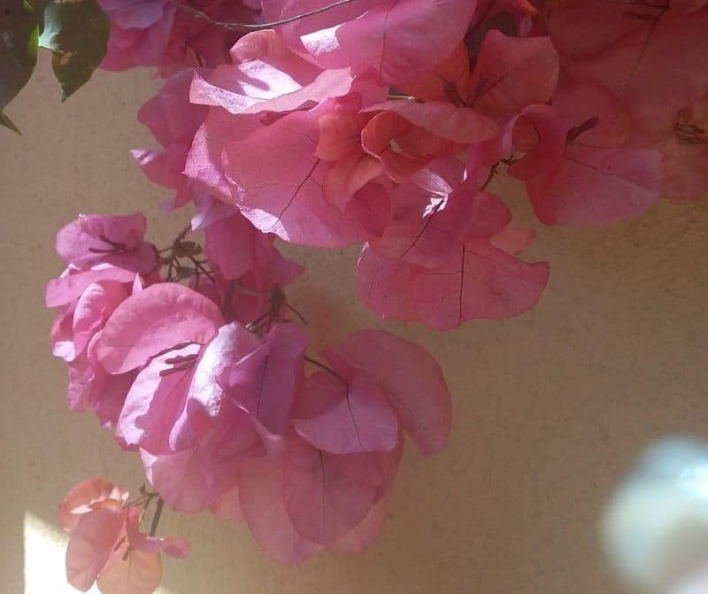pink bougainvillea partly in shadow